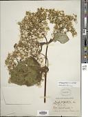 view Rumfordia floribunda var. australis digital asset number 1