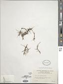 view Carex subspathacea Wormsk. ex Hornem. digital asset number 1
