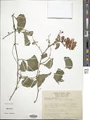 view Antigonon cordatum M. Martens & Galeotti digital asset number 1