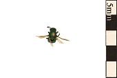 view Cuckoo Wasp digital asset number 1