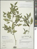 view Solanum emulans Raf. digital asset number 1