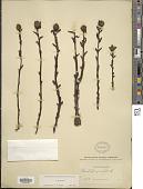 view Monotropa uniflora L. digital asset number 1