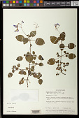 view Streptocarpus holstii Wiehler digital asset number 1