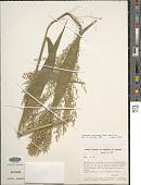 view Ichnanthus calvescens var. scabrior Döll digital asset number 1