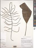 view Charpentiera densiflora Sohmer digital asset number 1