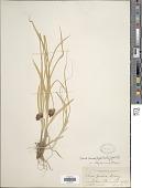 view Carex ebenea Rydb. digital asset number 1