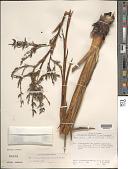 view Brocchinia steyermarkii L.B. Sm. digital asset number 1