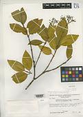 view Psychotria duricoria var. longiloba Steyerm. digital asset number 1