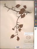 view Crataegus pruinosa s.l. (H.L. Wendl.) K. Koch s.l. digital asset number 1