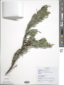 view Cupressus macrocarpa Hartw. digital asset number 1