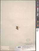 view Spirodela polyrhiza (L.) Schleid. digital asset number 1