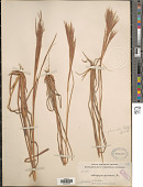 view Andropogon glomeratus (Walter) Britton, Stearns & Poggenb. digital asset number 1