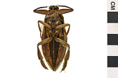 view Giant Water Bug digital asset number 1