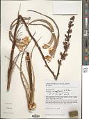 view Encholirium magalhaesii L.B. Sm. digital asset number 1