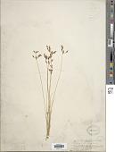 view Bulbostylis hispidula (Vahl) R.W. Haines digital asset number 1