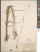 view Dichanthelium dichotomum (L.) Gould var. dichotomum digital asset number 1