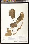 view Centrosolenia hirsuta Benth. digital asset number 1