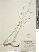 view Cyperus swartzii (A. Dietr.) Boeckeler ex Kük. digital asset number 1