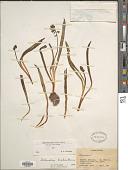 view Bellevalia tristis Bornm. digital asset number 1