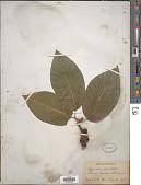 view Magnolia cordata digital asset number 1