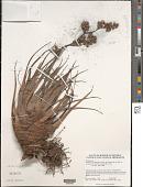view Racinaea tetrantha var. caribaea (L.B. Sm.) M.A. Spencer & L.B. Sm. digital asset number 1