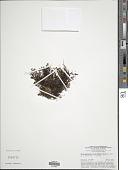 view Hymenophyllum holochilum (Bosch) C. Chr. digital asset number 1