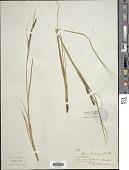 view Carex aquatilis var. dives (Holm) Kük. digital asset number 1