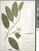 view Faramea parvibractea Steyerm. digital asset number 1