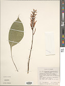 view Pitcairnia elliptica Mez & Sodiro digital asset number 1