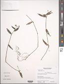view Callisia ciliata Kunth digital asset number 1