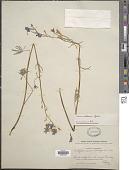 view Delphinium nelsonii Greene digital asset number 1