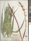 view Phragmites australis subsp. americanus Saltonstall & et al. digital asset number 1