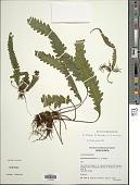view Enterosora trifurcata (L.) L.E. Bishop digital asset number 1
