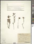 view Turnera sidoides subsp. pinnatifida (Juss. ex Poir.) Arbo digital asset number 1