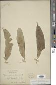 view Coniogramme fraxinea (D. Don) Diels digital asset number 1