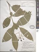 view Neea anisophylla Ernst digital asset number 1