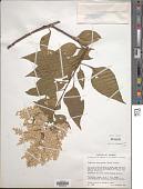 view Lagrezia monosperma (Rose) Standl. digital asset number 1