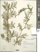 view Prosopis juliflora (Sw.) DC. digital asset number 1