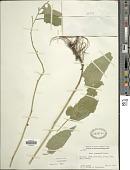 view Symphyotrichum drummondii (Lindl.) G.L. Nesom digital asset number 1