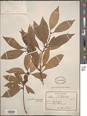 view Neolitsea aciculata (Blume) Koidz. digital asset number 1