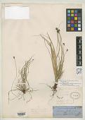 view Carex wrightii Franch. digital asset number 1