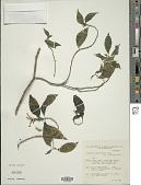 view Schaueria azaleiflora Rusby digital asset number 1