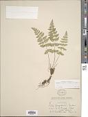 view Cystopteris fragilis (L.) Bernh. var. fragilis digital asset number 1