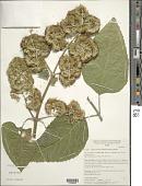 view Critonia morifolia (Mill.) R.M. King & H. Rob. digital asset number 1