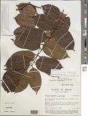 view Swartzia acuminata Willd. ex Vogel digital asset number 1
