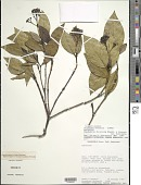 view Palicourea duricoria (Standl. & Steyerm.) Delprete & J.H. Kirkbr. digital asset number 1