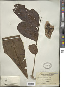 view Dysoxylum parasiticum (Osbeck) Kosterm. digital asset number 1