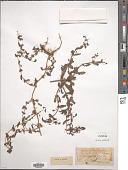 view Stemodia viscosa Roxb. digital asset number 1