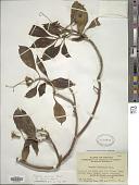 view Fagraea ceilanica Thunb. digital asset number 1
