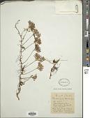 view Elaphoglossum peltatum (Sw.) Urb. f. peltatum digital asset number 1